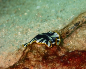 Black flatworm with white stripes and yellow edge smilling on an underwater branch at eco2 diving mtwara tanzania