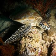 Green sea turtle front profile view at night in the spotlight on underwater rocks at mikindani bay mtwara south tanzania
