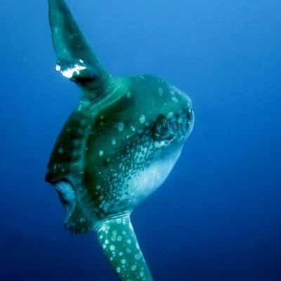 Mola mola also called sunfish back view swimming away at mikindani bay mtwara south tanzania