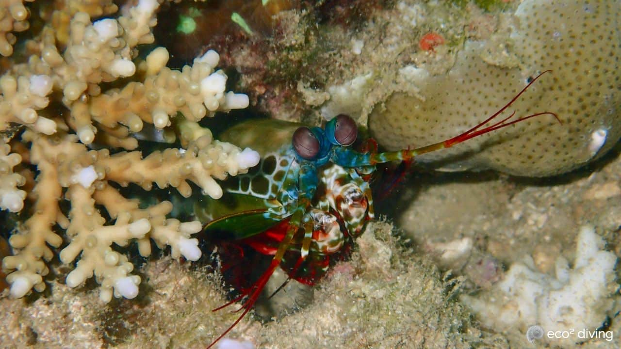 Peacock mantis shrimp portrait surrounded by corals at eco2 diving in Mikindani Bay mtwara Tanzania